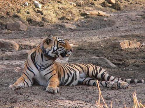 Dara-male tiger