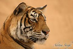 Machali the tigress