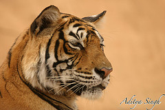 Machali the tigress