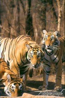 Ranthambhore's tigers