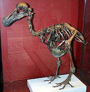 Dodo - skeleton