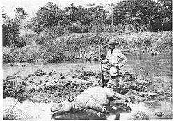Dead Javan Rhino
