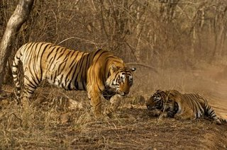 Bengal tiger-Ranthambhore (AS)