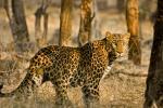 Leopard-Dicky Singh