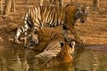 Tigers Ranthambhore