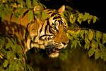 Tiger -Dicky Singh