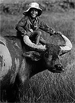 buffaloherd