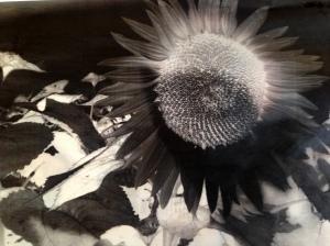 sunflowerneg1